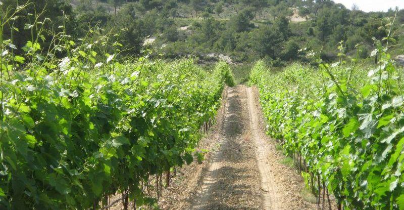 A la découverte de la vigne et de l'olivier